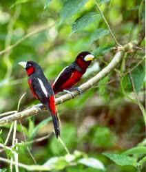 Black-and-Red Broadbill.jpg (22969 bytes)