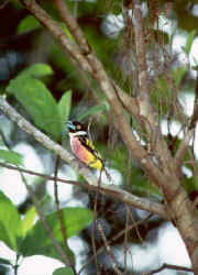 Black-and-Yellow Broadbill.jpg (43900 bytes)