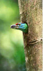 Blue-throated Barbet - 3.jpg (18937 bytes)