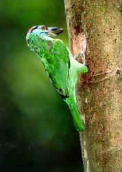Blue-throated Barbet.jpg (19791 bytes)