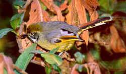 Chestnut-tailed Minla.jpg (21289 bytes)