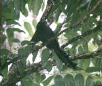 Racquet-tailed Treepie
