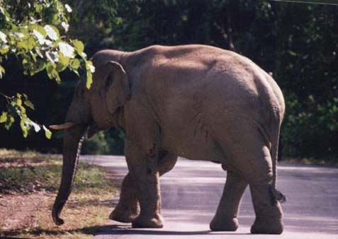 Asian Elephant at Khao Yai National Park, Thailand, photo by Peter Ericsson