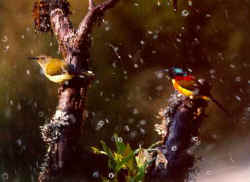 Green-tailed Sunbird.jpg (32040 bytes)