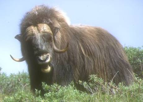 Musk Ox, photo by Jon Hornbuckle