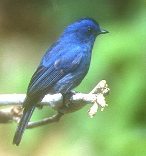 Nilgiri Flycatcher - photo by Jon Hornbuckle