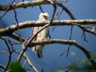 Juvenile Harpy Eagle Harpia harpyja. Forest fragment in Alta Floresta, MT, Brazil. Photo by Alexander Lees.