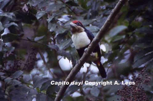 Black-girdled Barbet (Capito dayi) - Cristalino Jungle Lodge, April 2003. Alex Lees.