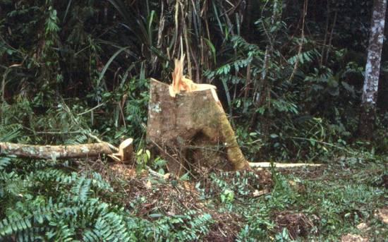 Illegal Logging at PICOP, near Bislig, Mindanao, Philippines