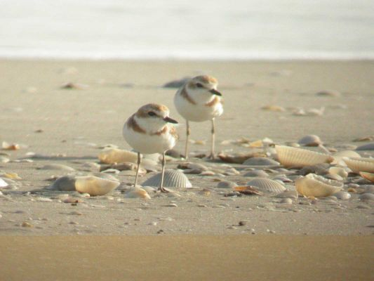 Malaysian Plovers at Laem Phak Bia before destruction by the Thai Government