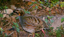 Rufous-throated Partridge 2.jpg (22326 bytes)