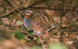 Rufous-throated Partridge.jpg (16990 bytes)