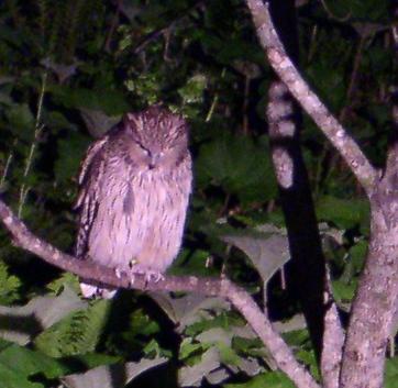 Blakiston's Eagle-Owl (Fish-Owl), Bubo blakistoni