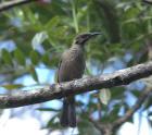 New Caledonian Friarbird Philemon diemenensis