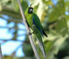 Ouvea [Horned] Parakeet Eunymphicus (cornutus) uvaeensis