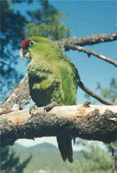Juvenile Thick-billed Parrot, Rhynchopsitta pachyrhyncha