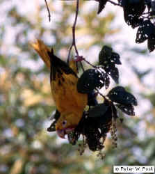 Golden Parakeet, Guarouba guarouba, photo by Peter W. Post
