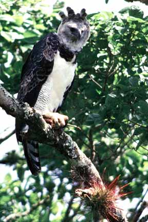 Harpy Eagle, Harpia harpyja, photo by Kevin Loughlin