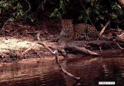 Jaguar, Felix onca, photo by Peter W. Post